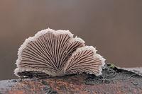 Split gill fungus (Schizophyllum commune)