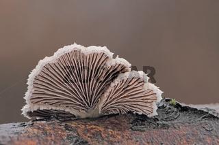 Gemeiner Spaltblaettling (Schizophyllum commune)