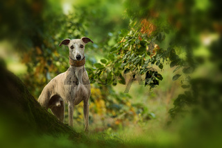 Whippet dog standing under a tree