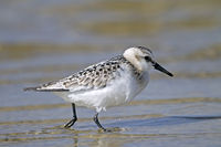 Sanderling in non-breeding plumage