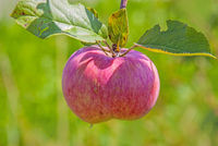 Apple ripe for harvest