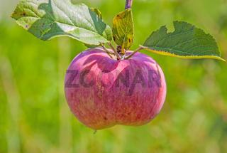 Apfel reif zur Ernte