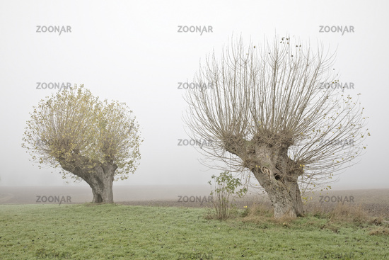 Pollard willows early in the morning, November fog, Bislicher Insel nature reserve, Xanten, Germany