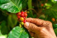Senior farmer hand check a red coffee fruits.