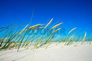 Feines Dünengras mit Strandhafer