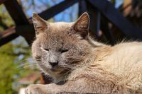 A gray domestic cat lies and bask in the sun.