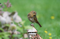 young thrush sitting on an old lantern