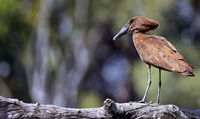hamerkop, South Luangwa NP, Zambia, (Scopus umbretta)