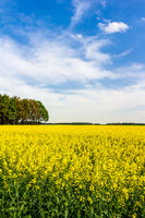 Flowering rapeseed field in spring on a day with blue sky