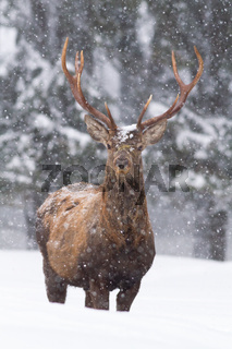 Vital red deer stag standing in deep snow and looking into the camera in winter