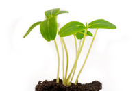 Green young sprouts from the soil. Agricultural crop. Growing plants.