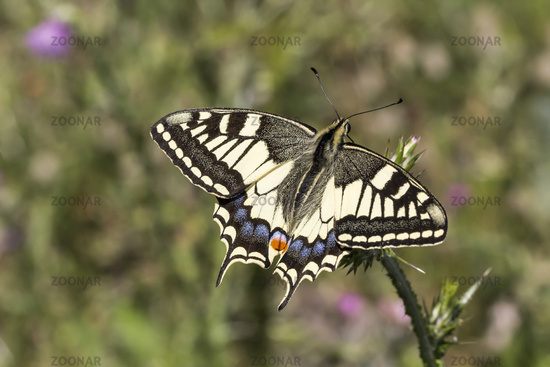 Papilio machaon, European Swallowtail from Italy