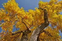 maple treetop