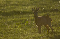 Very old Roe Deer buck stands during the rut in a meadow