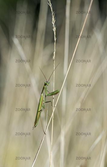 European praying mantis (Mantis religiosa)