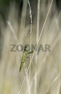 Europäische Gottesanbeterin (Mantis religiosa)