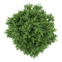 top view of large-leaved lime tree isolated