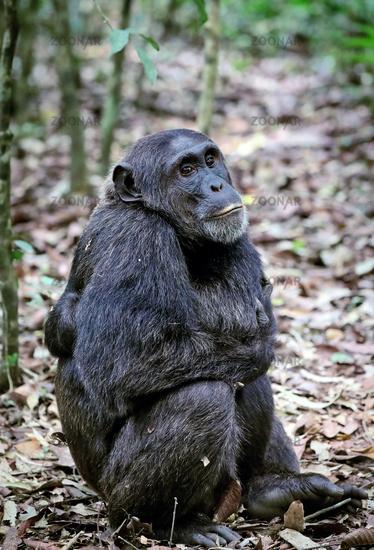 chimpanzee at Kibale National Park Uganda (Pan troglodytes)
