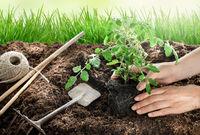 Female hands planting tomato plant in vegetable garden
