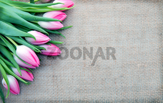 Pink Tulips isolated on brown cloth Background.
