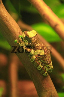 Amazon milk frog in terrarium Trachycephalus resinifictrix.