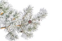 Pine tree branch with cones and hoarfrost or rime and snow on green needles
