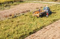 harvest orange pumpkin, harvest pumpkin, tractor collects pumpkin in the field