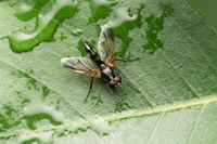 Fly, Mintho rufiventris, Satara, Maharashtra, India