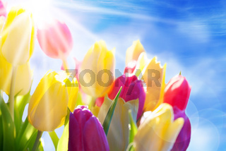 Close Up Of Sunny Tulip Flower Meadow Blue Sky And Bokeh Effect
