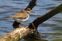 Sandpiper (Actitis hypholeucos)