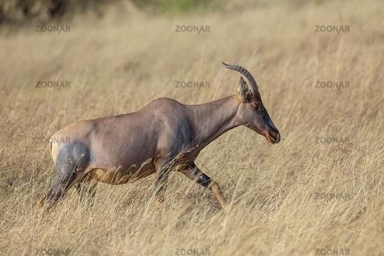 Topi in grassland, Damaliscus lunatus, Maasai Mara National Reserve, Kenya, Africa
