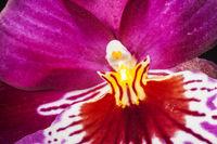 Miltoniopsis Hybride pollen macro