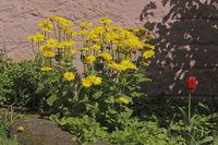 Gaemswurz (Doronicum)