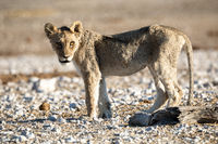 Lion cub at Etosha national Park