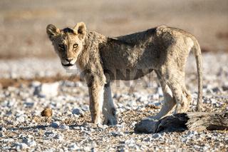 Lion cub at Etosha national Park