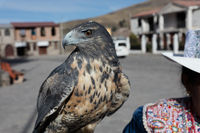 Peruvian woman with hawk