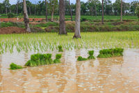 Young rice sprout ready to planted in the rice field with water