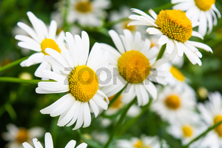Medicine chamomile flowers. Aromatherapy by herbs camomile daisy flowers
