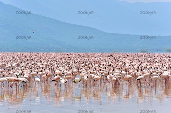 Huge Swarm of Lesser Flamingos at Lake Bogoria