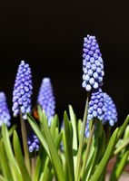 Close up Muscari bluebell flowers over black