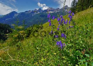 Blauer Eisenhut, Aconitum napellus, im Lechtal, Österreich, Tirol,  Blick zur Hornbachkette