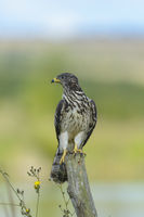 Junger Wespenbussard, Pernis apivorus, Young Western Honey Buzzard