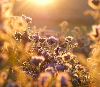 Bienenfreund in der Morgensonne