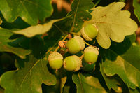 Oak leaves and acorns the evening sun