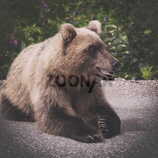 Hungry and angry wild Kamchatka brown bear lies and look away