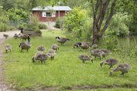 Canada Goose, Branta canadensis,