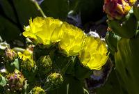 Beautiful yellow cactus flower