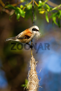 European penduline tit holding grass in beak and building hanging nest