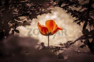 Fable tulip