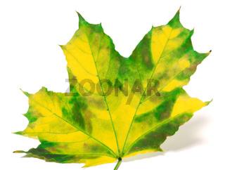 Yellowed maple leaf on white background